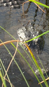 Alligator up close