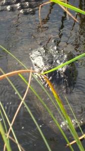 Alligator up close