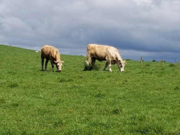 Two cows standing on grass at the Cliffs of Moher, Ireland