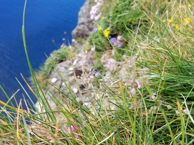 Flowers growing in rocks at the Cliffs of Moher, Ireland